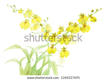 Watercolor yellow exotic plant orhid oncidium Sweet Sugar hybrid with green bulbs leaves isolated on white background botanical aquarelle illustration
