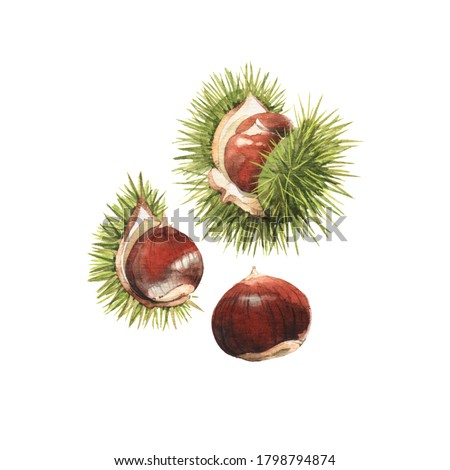 Watercolour highly detailed clip art illustrations of the chestnuts Foto stock ©