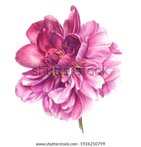 Watercolour image of a purple plant. Detailed realistic peony for print, postcard, poster, book decoration and other printed products.