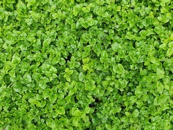 Watercress or salad of fresh green water is considered.