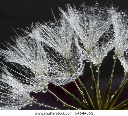 Waterdrops on Dandelions Seeds
