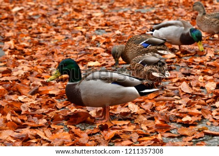 waterfowl duck and goose  walking on orange leaf from defoliation in autumn at the lake