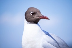 Waterfowl seagull close up. Portrait. Plumage. Bird head.