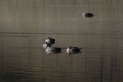 Waterfowls in dusk of the lake