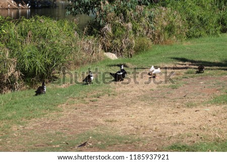 Waterfowls stomping along the trail