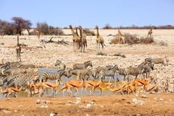 Waterhole in Etosha teeming with many different varieties of animals including, giraffe, zebra, springbok, Oryx
