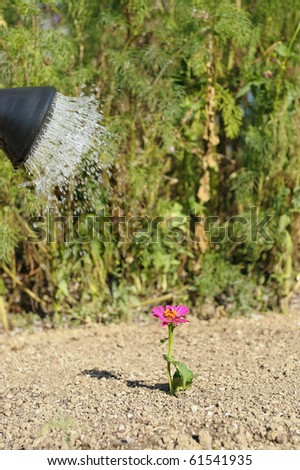 watering a flower isolated and lonely