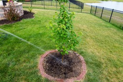 Watering a newly planted maple sapling in a round flowerbed with brick border in a lawn with a hose