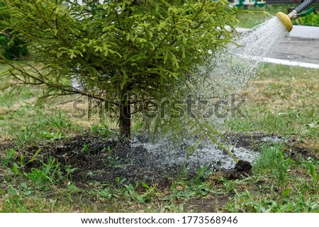 Watering conifers in a city garden or park with a spray hose. City improvement. Homestead farming