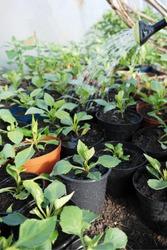Watering dahlia plants in pots.