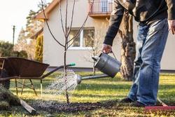 Watering freshly planted fruit tree in garden. Senior man gardening at his backyard during springtime. Using watering can after planting tree