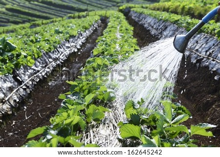 watering in vegetable garden