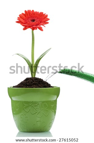 watering the red flower in the pot on white