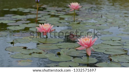 Waterlily Flower