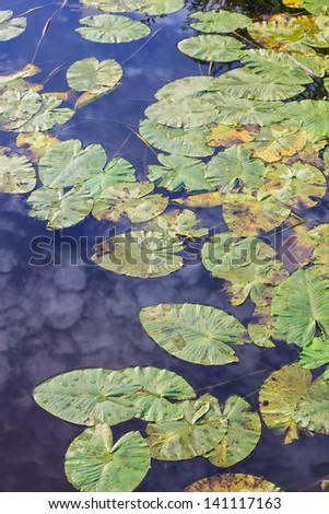 Waterlily leaves