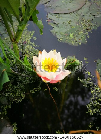 Waterlily, Lotus flower, colorful waterlily, colorful lotus flower, beautiful waterlily, lotus flower in pond.