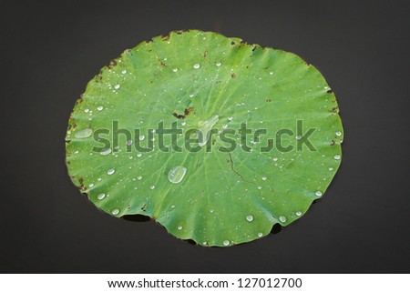 Waterlily on the dark background