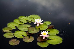 Waterlily or lilly pads in pond in the summertime