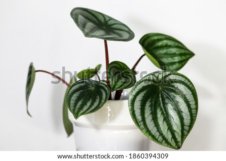 Watermelon Begonia in white pot with white background. Foto stock ©