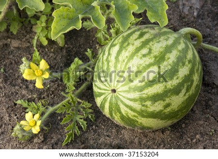 how to grow big watermelons
