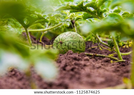 watermelon growing on the ground #1125874625