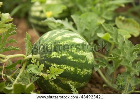 watermelon on the field