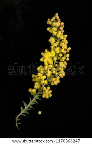 Wattle blossom, Acacia as best known grows in most parts of Australia and Africa South America parts of Asia and more, there many varieties with nibrant yellow blossom..