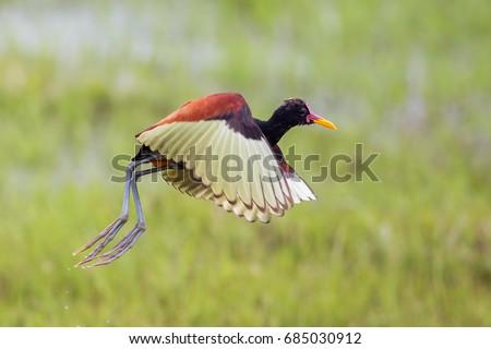 Wattled jacana in flight