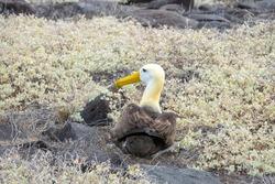 Waved Albatross also known as Galapagos Albatross, in Española Island, Ecuador