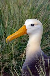 Waved Albatross (Diomedea irrorata) on the island of Espanola in the Galapagos Islands, Ecuador. The waved albatross breeds primarily on Espanola Island in the Galapagos archipelago.