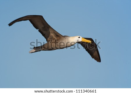 Waved albatross flying over a Galapagos island, blue sky in the background