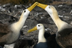 Waved Albatross (Phoebastria irrorata) in the Galapagos Island, engaging in the well known mating dance