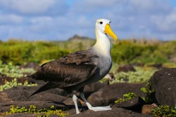 Waved albatross (Phoebastria irrorata) on Espanola Island, Galapagos National park, Ecuador. The waved albatross breeds primarily on Espanola Island.