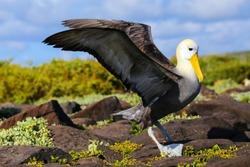 Waved albatross spreading its wings, Espanola Island, Galapagos National park, Ecuador. The waved albatross breeds primarily on Espanola Island.
