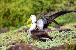 Waved albatrosses doing courtship ritual on Espanola Island, Galapagos National park, Ecuador. The waved albatross breeds primarily on Espanola Island.