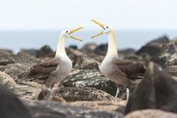 Waved albatrosses performing a mating ritual