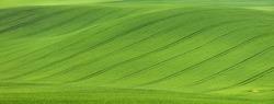 waves of green wheat field