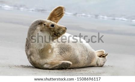 Waving Harbor seal / Common Seal (Phoca vitulina) on the beach of the Island Düne, Helgoland in Germany. Bye bye 2020. Goodbye 2020, Hello 2021.