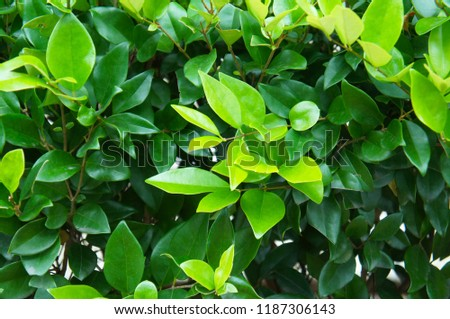 Wax leaf ligustrum green foliage