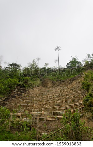 Wax palm terrace cultivation, attempted reforestation of Ceroxylon quindiuense, national tree of Colombia, in the Cocora Valley Foto stock ©