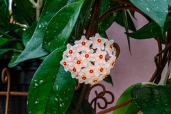 Wax Plant (Hoya carnosa) pink blooming flowers cluster. Hoya carnosa flowers. Hoya carnosa lush inflorescence. Porcelain flower or wax plant.  Hoya Flower cluster under bright light .