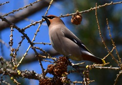 Waxwing bird and cones on a tree branch
