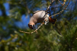 Waxwing bird on tree branch in spring forest