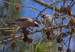 Waxwing birds eating cones on a tree branch