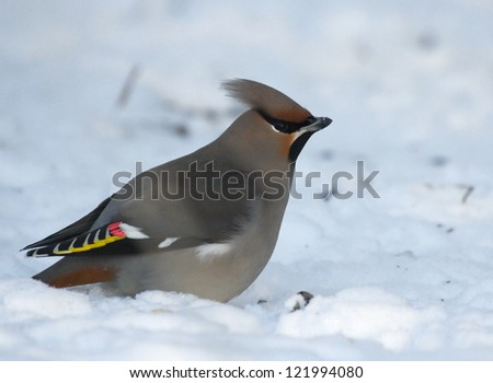 Waxwing on snow