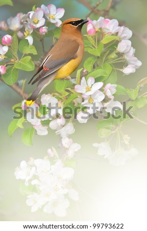 Waxwing perching in apple tree. Latin name - Bombycilla cedrorum. With copy space for your additions.