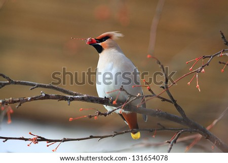 Waxwing with berry of mountain ash on branch