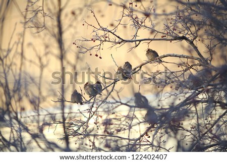 Waxwings on the frozen winter branches