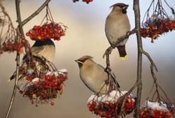 Waxwings perching on branch of berry tree