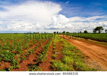 way in cassava agricultural field under blue sky